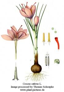 crocus_sativus