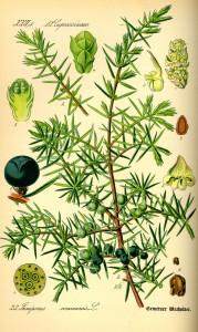 Juniperus_communis0