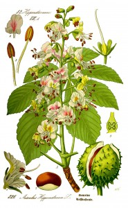 Illustration_Aesculus_hippocastanum0_clean