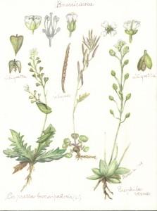 borsa pastore brassicaceae