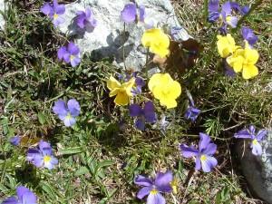 Viola eugeniae