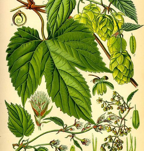 Luppolo – Humulus lupulus L.